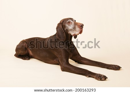 Old dog with white head laying in studio on cream colored background - stock photo