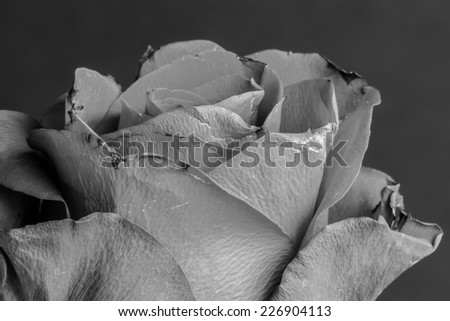 Old dying grey damaged by time rose. Dying and death concept. Black and white photo. - stock photo