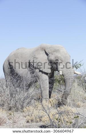 old elephant bull in the dry bush land, Etosha National Park, Namibia, Africa  - stock photo