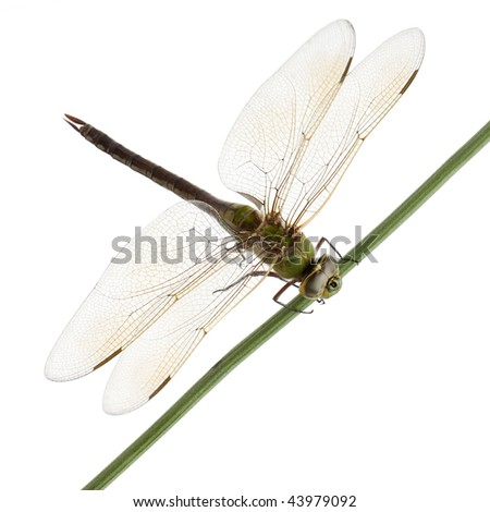 Old Emperor dragonfly, Anax imperator, on blade of grass in front of white background - stock photo