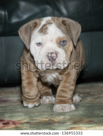 Old English Bulldog Puppy - stock photo