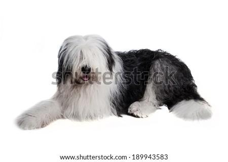 old english sheepdog isolated on white background - stock photo