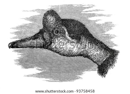 Old engraving of goose head. Created by Neuville, published on Travel to upper Nile and exploration of its sources by Sir Samuel White Baker (British explorer), Moscow, 1868 - stock photo