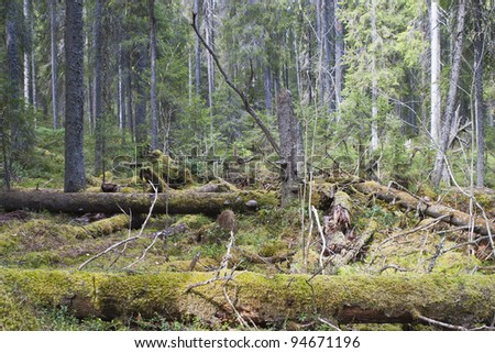 Old fallen trees in a old growth forest - stock photo