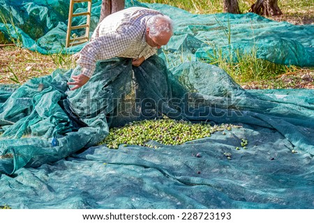 old farmer who picks olives with a net on a sunny day. olive harvest in Sicily - stock photo