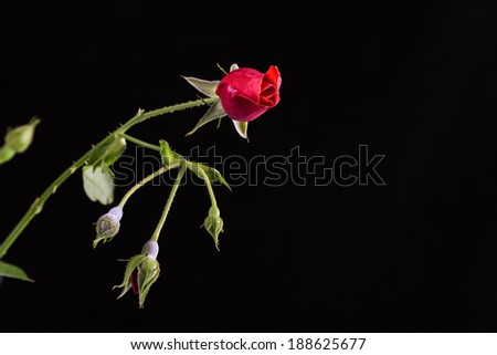 Old fashioned red rose bud just beginning to open against black background.  High contrast image with copy space. - stock photo