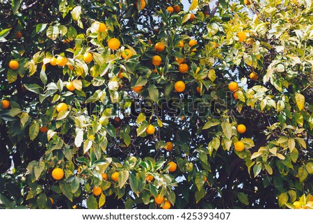 Old film style close up view of branches full of fresh oranges on an orange tree at sunny summer day. Orange tree with young leafs and oranges. Big orange tree in summer. Small oranges on orange tree. - stock photo
