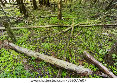 Old forest and common wood sorrel - Oxalis acetosella - stock photo