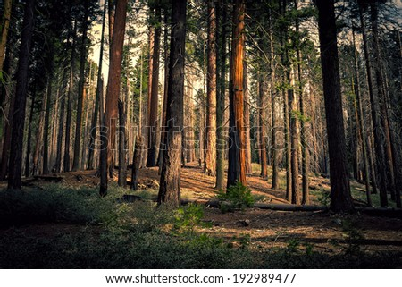 Old Forest, Mariposa Grove, Yosemite National Park, California - stock photo