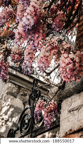 Old forging gate with ornament (entry to abandoned manor)  and stone brick wall overgrown with blooming Wisteria flowers . Light and shadow. Aged photo. - stock photo