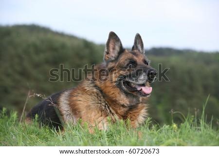 old german shepherd - stock photo