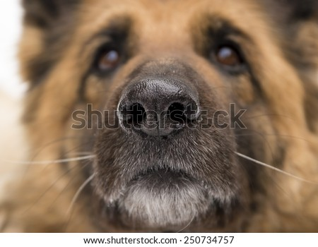 old German Shepherd from the front, close - stock photo