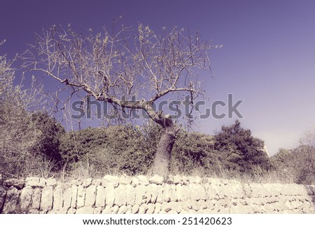 Old gnarled almond tree standing on a drystone walled terrace. Mallorca, Balearic islands, Spain. Filter treatment. - stock photo