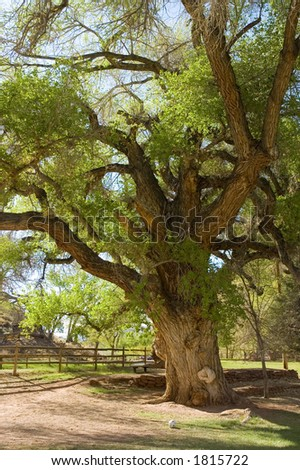 old gnarled tree in State park of Utah , USA - stock photo