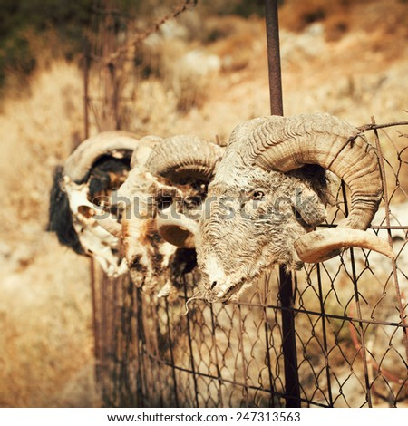 Old goat skull in countryside - stock photo