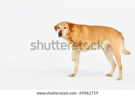 old  Golden Labrador Retriever  runs on snow and lifts injured paw outdoor   of the white background - stock photo