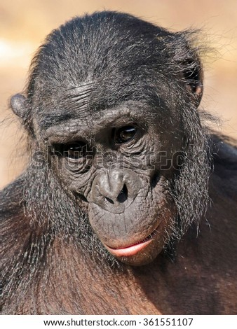 Old gorilla with sad face - stock photo