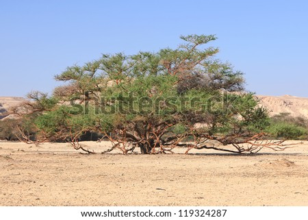 Old grate acacia tree in stony desert reserve, Israel - stock photo