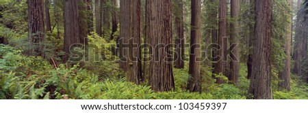 Old-growth redwoods at Jedediah Smith Redwood State Park, California - stock photo