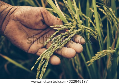 old hand tenderly touching a young rice in the paddy field - stock photo