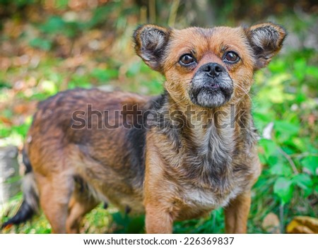 Old Homeless Dog.  Not purebred dog thrown by people  - stock photo