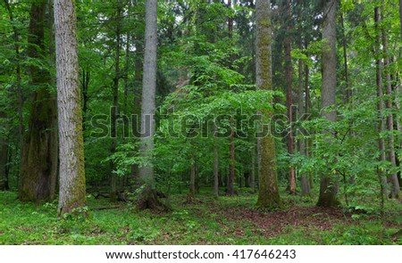 Old hornbeam and oak trees moss wrapped and old natural deciduous stand of Bialowieza Forest in background, Bialowieza Forest,Poland,Europe - stock photo