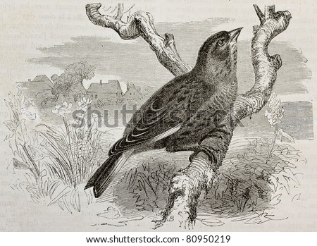 Old illustration of a Linnet (Carduelis cannabina). Created by Kretschmer and Jahrmargt, published on Merveilles de la Nature, Bailliere et fils, Paris, 1878 - stock photo