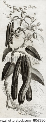 Old illustration of a Vanilla plant (Vanilla planifolia). By unidentified author,  published on Magasin Pittoresque, Paris, 1850 - stock photo