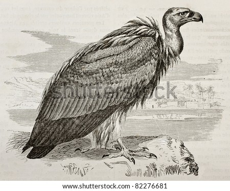 Old illustration of Griffon Vulture (Gyps fulvus). Created by Kretschmer, published on Merveilles de la Nature, Bailliere et fils, Paris, 1878 - stock photo
