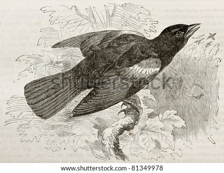 Old illustration of Red-winged Blackbird (Agelaius phoeniceus). Created by Kretschmer, published on Merveilles de la Nature, Bailliere et fils, Paris, 1878 - stock photo