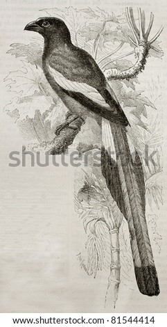 Old illustration of Rufous Treepie (Dendrocitta vagabunda). Created by Kretschmer, published on Merveilles de la Nature, Bailliere et fils, Paris, 1878 - stock photo