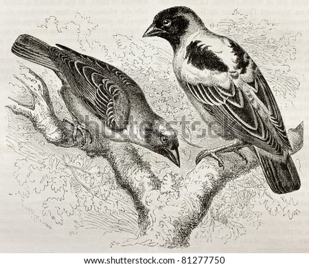 Old illustration of Ruppell Weaver (Ploceus galbula) and Heuglin Masked Weaver (Ploceus heuglini). Created by Kretschmer, published on Merveilles de la Nature, Bailliere et fils, Paris, 1878 - stock photo