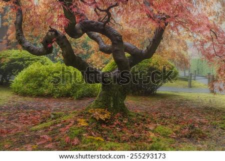 Old Japanese Maple Tree at Portland Japanese Garden in Autumn - stock photo