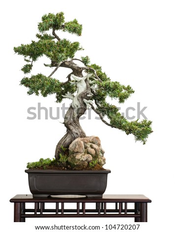 Old Juniper (Juniperus rigida) as bonsai tree is white isolated - stock photo