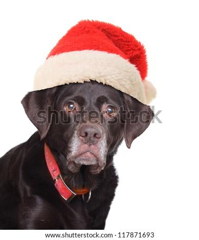 Old labrador retriever wearing a Santa hat. - stock photo