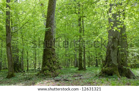 Old linden trees at sumertime Bialowieza Forest stand - stock photo