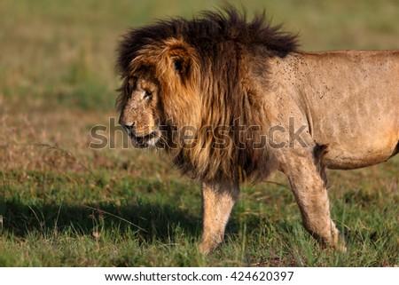 Old Lion Scarface of Marsh Pride in Masai Mara, Kenya - stock photo