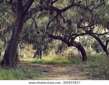 Old Live Oak Trees with Spanish Moss Hanging Down - stock photo