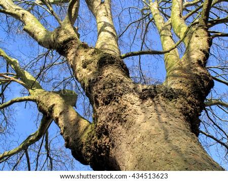 Old London Plane tree (Platanus x hispanica) having lost it's leaves in winter - stock photo