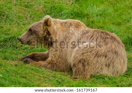 Old male bear resting in the grass - stock photo