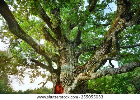 Old mighty oak tree in Latvian countryside - stock photo