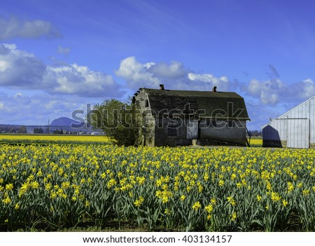 Old Milk Barn in Skagit Valley Daffodil Field - stock photo
