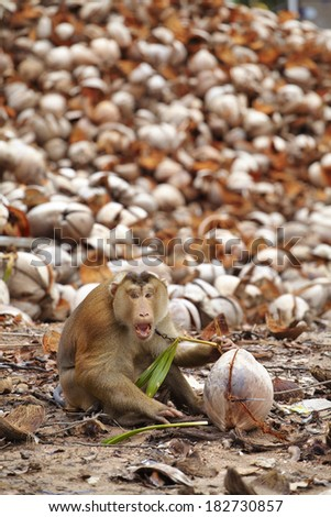 old monkey and dry coconut in thailand - stock photo