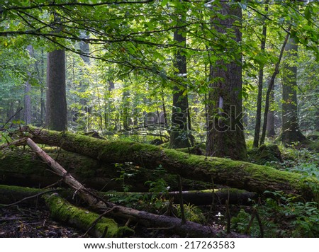 Old moss wrapped ash tree lying and old natural deciduous stand of Bialowieza Forest in summer morning - stock photo