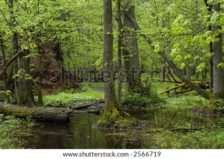 Old natural deciduous forest in the spring ,Bialowieza Forest,Europe - stock photo