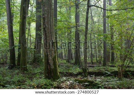 Old natural deciduous stand of Bialowieza Forest in morning with group of old trees,Bialowieza Forest,Poland,Europe - stock photo