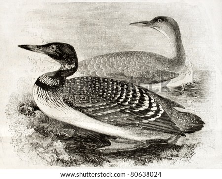 Old naturalistic illustration of Great Northern Loon (Gavia imber). By unidentified author, published on Magasin Pittoresque, Paris, 1850 - stock photo