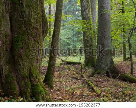 Old oak moss wrapped trees and spruce in shady rich deciduous stand of Bialowieza Forest in summer evening light - stock photo