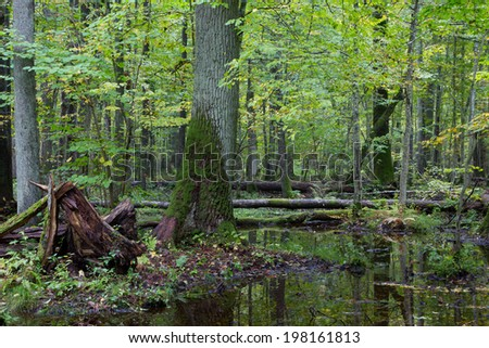 Old oak tree and water around in fall forest with a lot decline wood - stock photo
