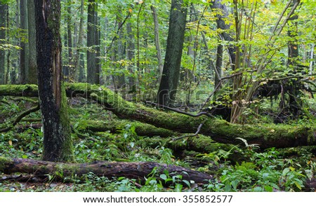 Old oak tree and water around in fall forest with a lot decline wood,Bialowieza Forest,Poland,Europe - stock photo